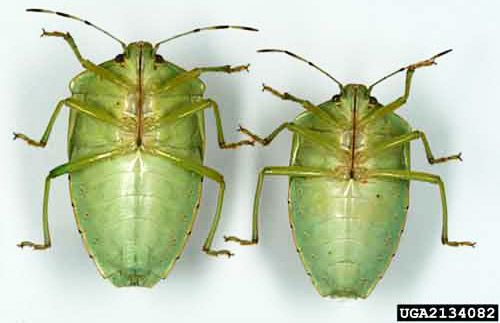Ventral view of adult female (left) and male (right) green stink bugs, Chinavia halaris (Say); ventral as in flipped over