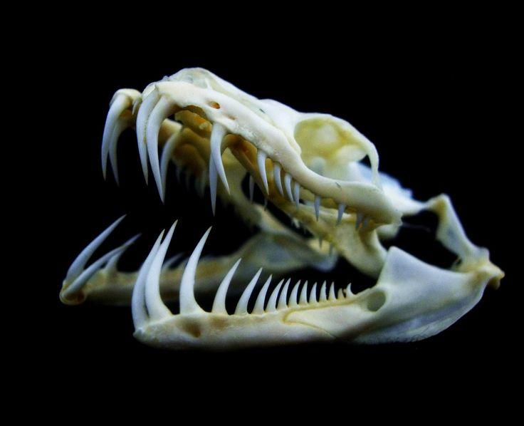 Green Tree Python skull (Morelia viridis)