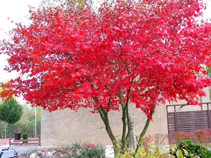 Japanse esdoorn multistam, gardening, plantings, tree
