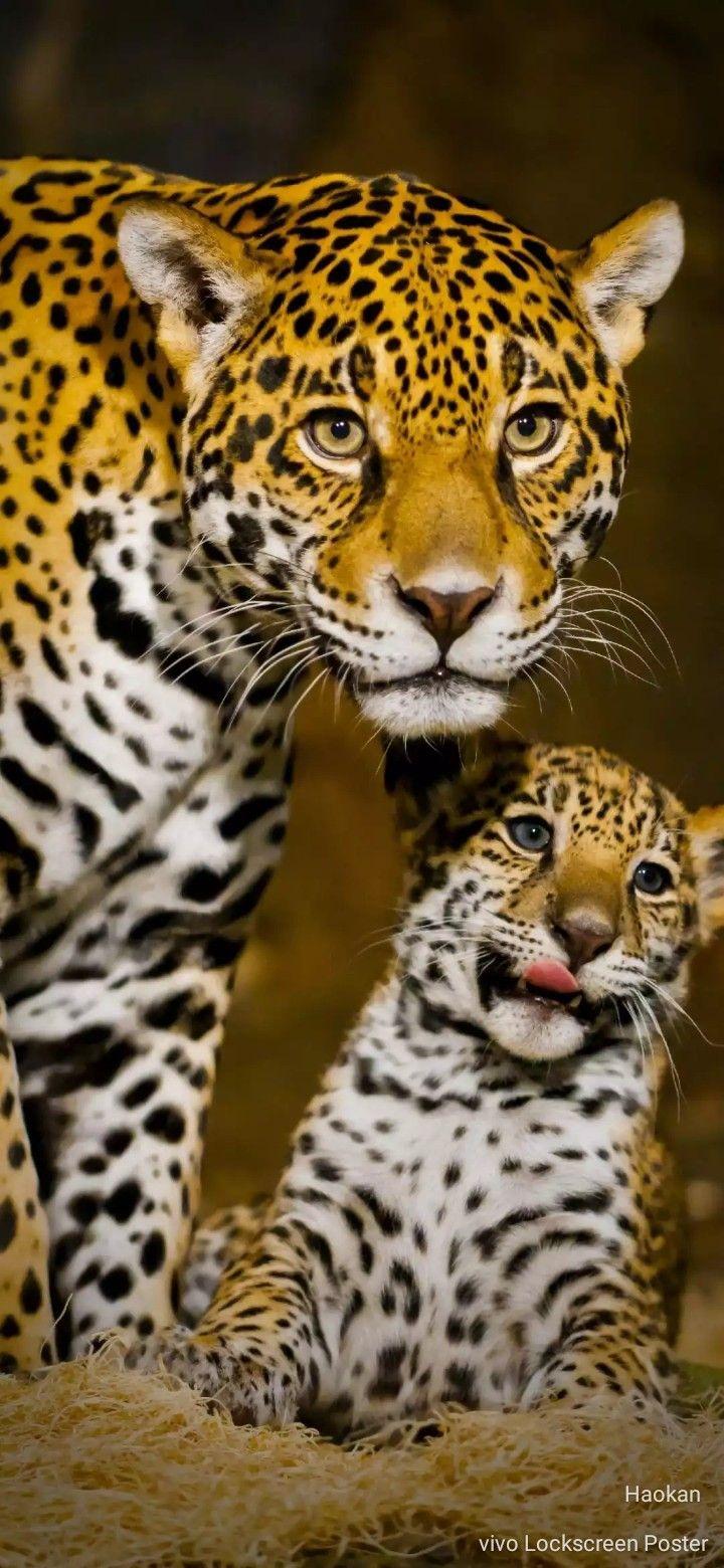 Macan Tutul Kucing Besar Hewan Langka Hewan