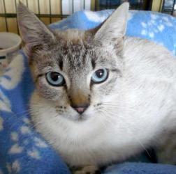 Marnie is an adoptable Siamese Cat in Pacifica, CA. To request more  information about