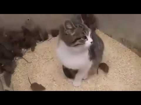 Funny cat videos - Lazy cat not eating mice