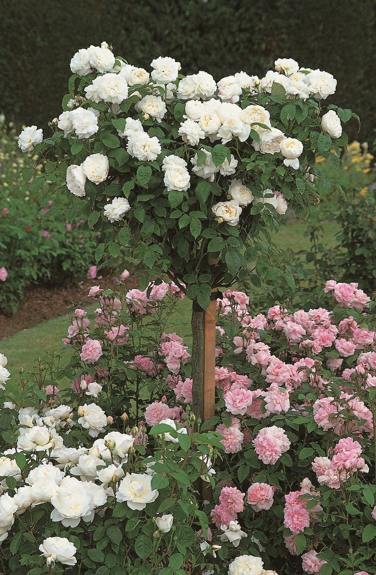Roses In Garden: Winchester Cathedral Standard (Auscat) #DavidAustin