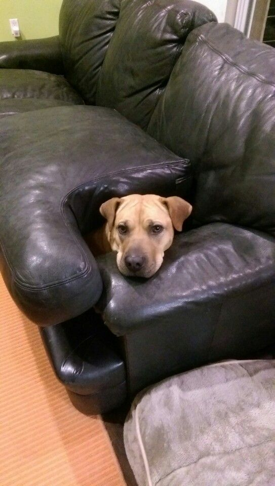 """""""If I am not allowed ON the couch I bloody hell am gonna get IN it!"""""""