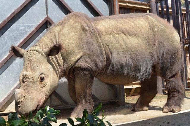Sumatran Rhino | Rhinos | Pinterest