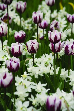 Tulip Rembrandt's Favourite with daffodil Sailboat  -- buy bulbs now for next spring
