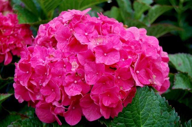 A hortenzia bokros növekedésű évelő növény, mely nyár elejétől díszít, hatalmas gömb alakú virágaival. Félárnyékos helyre remek szoliter növény, de több tövet egymás mellé ültetve térhatárolásra is használhatjuk. Savanyú, mindig...