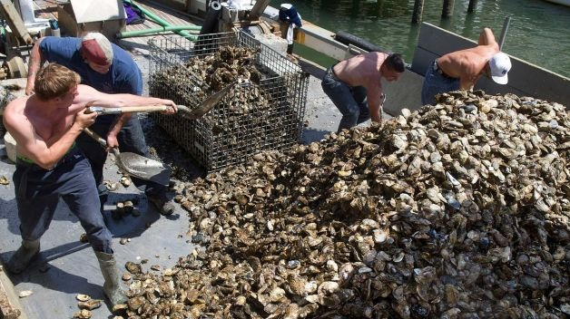 From left, Colin Higgins, Captain Steve Hopkins, Patrick McGlone and Rene Euceda unload oysters from a boat at Norm Bloom and Son in Norwalk, Conn., on Friday, May 17, 2013. Photo: Lindsay Perry / Stamford Advocate