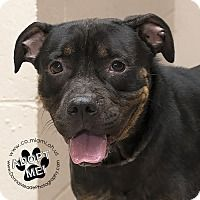 Rottweiler/Pit Bull Terrier Mix Dog for adoption in Troy, Ohio - Roxy Roo