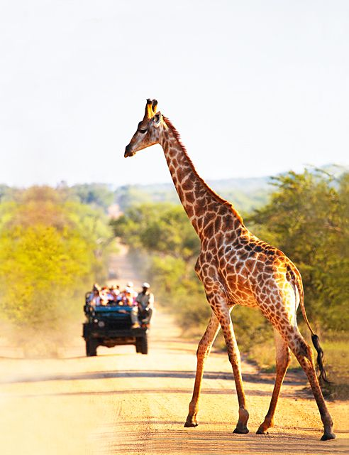 Safari jeep, South Africa........these animals are so graceful! Watching them is like watching a model on the catwalk.