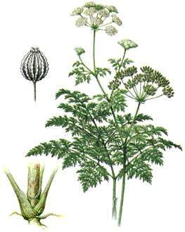 ОПАСНО! Ядовитые растения, применяемые в народе как лекарственные.