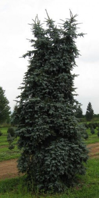 1000 images about tall columnar trees schrubs on for Tall evergreen shrubs
