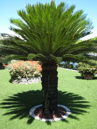 Sago Palm (Cycas Revoluta) - Zone 7b-11 Full Shade to Full Sun. Cold hardy.  Slow growing-could take 70-100 years to reach maximum height of 7-10ft. This tree (a cycad-not a palm) is known to be among the oldest plants on earth, unchanged for millions of years. Moderate water, well drained soil.