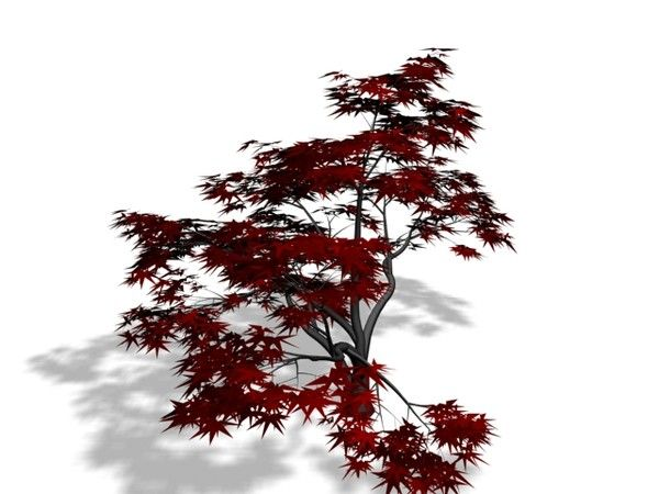 Acer palmatum 2.max