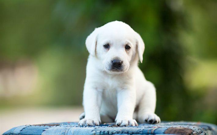 Download Wallpapers White Labrador 4k Retriever Puppy Cute Puppies Pets Labradors 4k Cute Download Labrador Cute Puppies White Labrador Lab Puppies