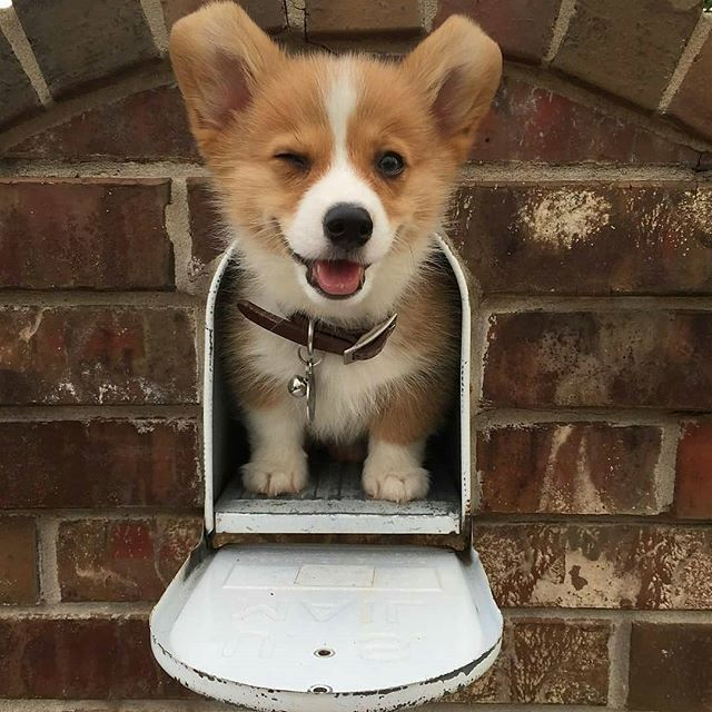 Pin By Sydney Parker On Everything Corgi With Images Cute Animals Puppies Corgi Dog