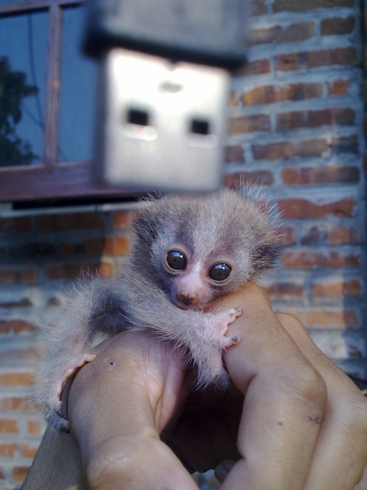 Baby slow sunda loris. :)