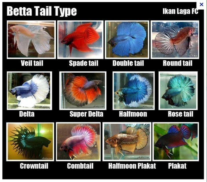 Chart Of Bettas Betta Fish Types Betta Fish Tank Betta