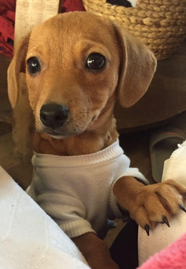 Chiweenie dog for adoption in houston tx adn779913 on