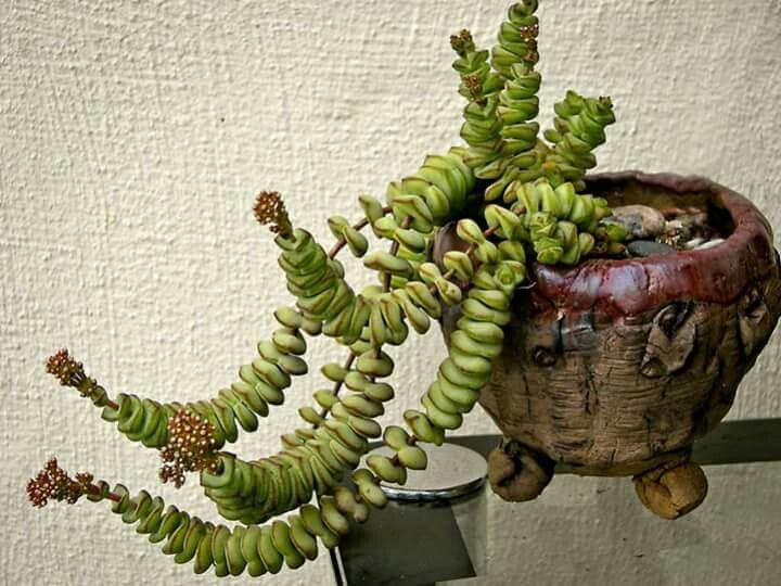 M s de 25 ideas incre bles sobre suculentas colgantes en for Jardines de poni