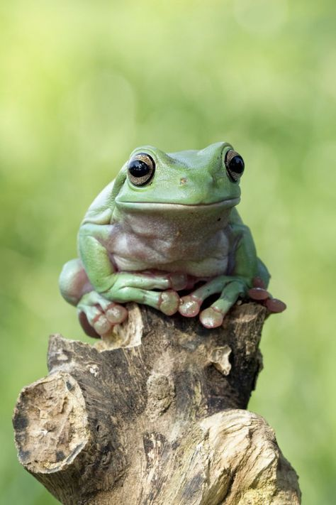 Best Dumpy Tree Frog Ideas On Pinterest Whites Tree Frog - Frog wearing two snails as hat becomes star of hilarious photoshop battle