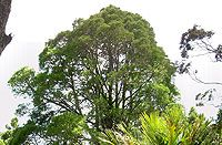 Kahikatea at Rahui Kahika Reserve. Read about 300 year old trees at Green Bay online 'Green Bay to Gondwanaland' at http://chimaera.co.nz/greenbay/002_Now1.html
