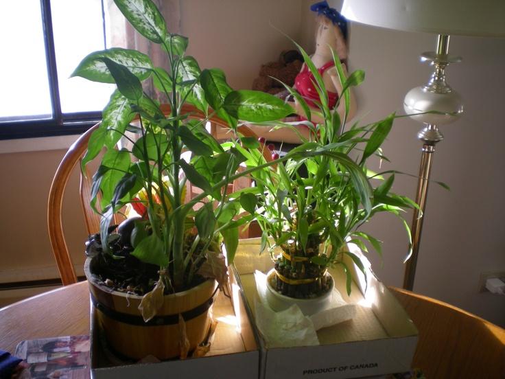 Landsteiner & Wiener, the only 2 plants I've ever kept alive. Must be the blood bank gods. <;-)