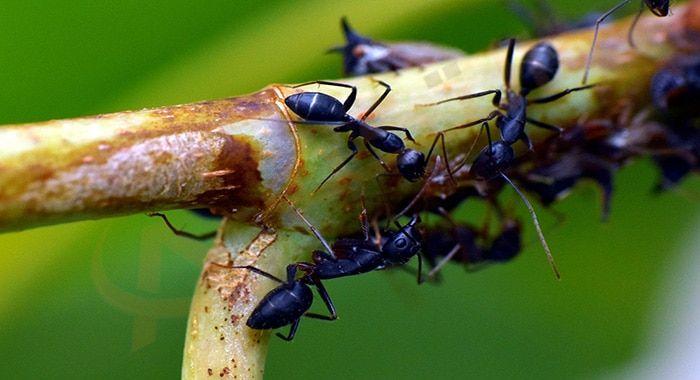 تفسير حلم رؤية النمل الأسود في المنام النمل الأسود على الجسم معنى النمل يقرص رؤية النمل الاسود وقتله تفسير النمل Ants In Garden Get Rid Of Ants Rid Of Ants