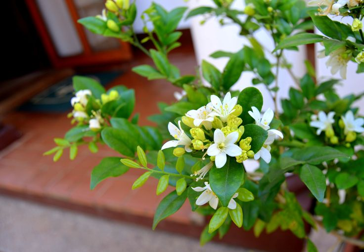 Fragrant spring blossoms on the colonial verandah at Uplands by Rosemary Hall