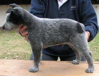 Australian Stumpy Tail Cattle Dog I have one of these and they