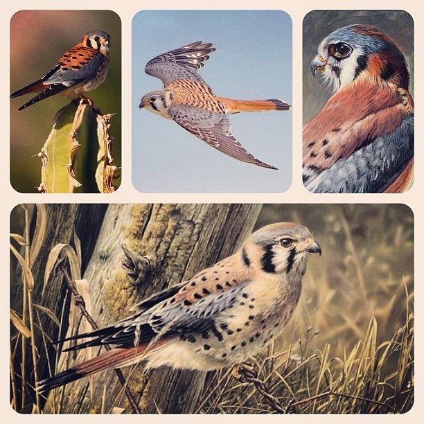 American Kestrel (Воробьиная пустельга, Falco sparverius) | Flickr