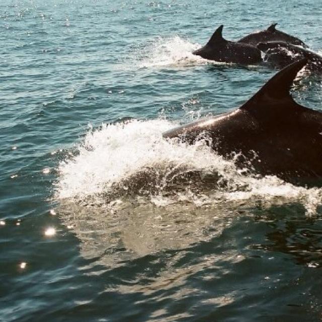 Dolphins in Punta de Choros