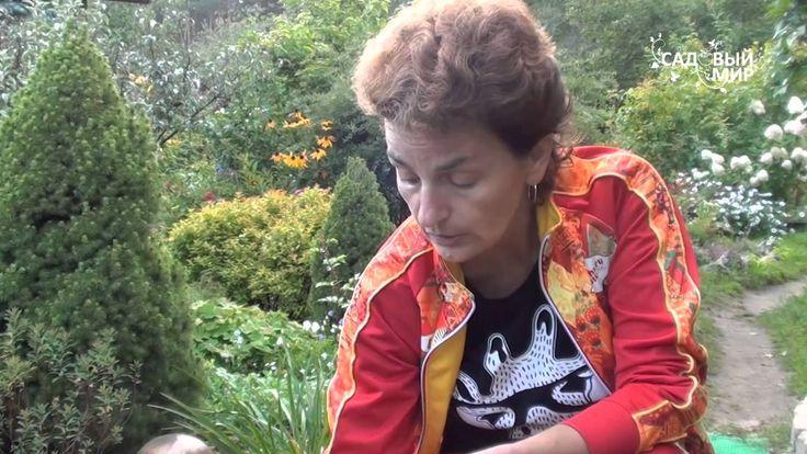 """Луковичные ирисы, особенности посадки. Сайт """"Садовый мир"""""""
