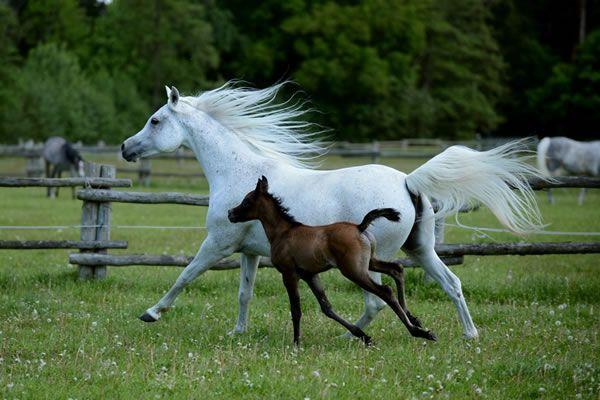 Ansiba Maalula - Arabische Pferde - Asil Araber - Ansiba Arabians