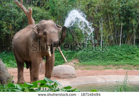 Elephant make water spray - shower