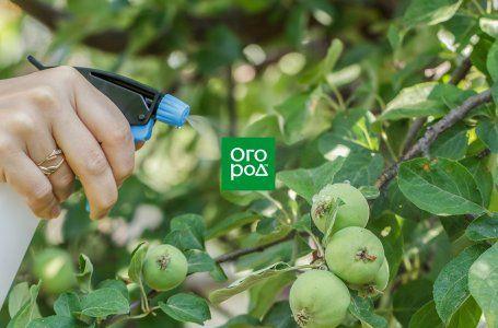 Яблоки гниют прямо на дереве – в чем причина, и что нужно ...