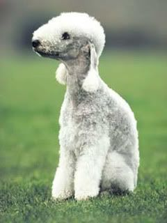 Bedlington Terrier.....I love these dogs!