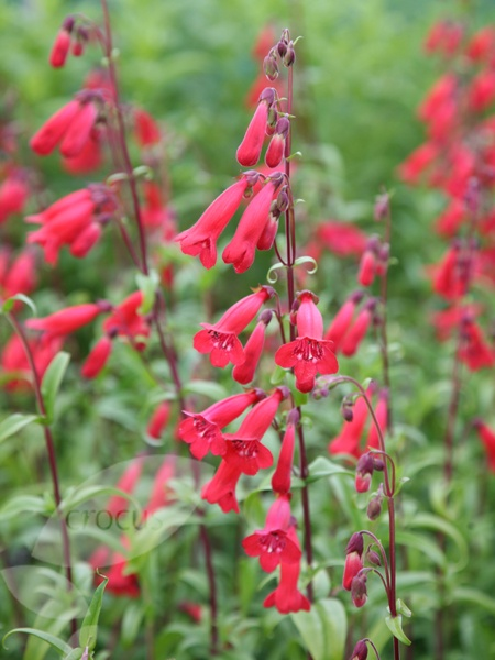 Penstemon Red Riding Hood, All varieties of penstemon are deer resistant , great for cut bouquets,drought tolerant and  a magnet for hummingbirds and bees both.