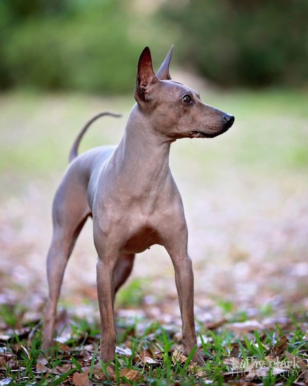 American Kennel Club Recognizes 2 New Breeds | American