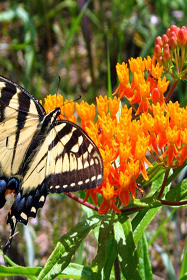 how to plant milkweed seeds in florida