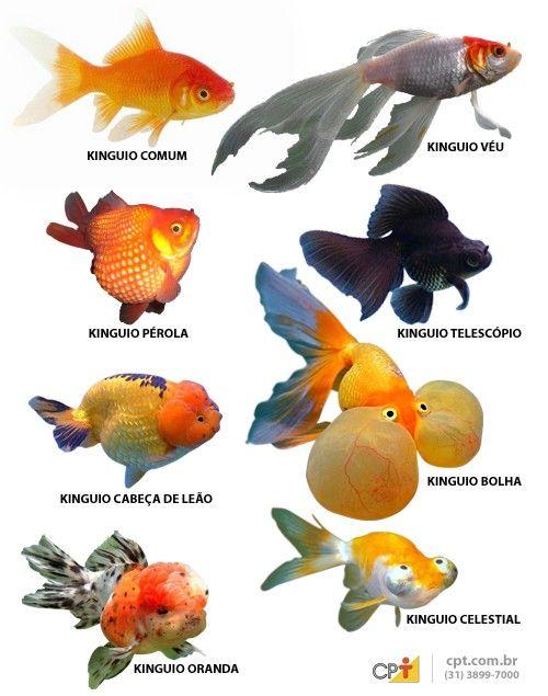 Kinguio - alimentação, reprodução e variedades