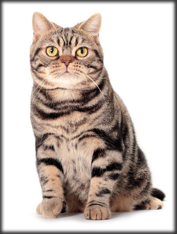Who S That Cat The American Shorthair Born In The Usa
