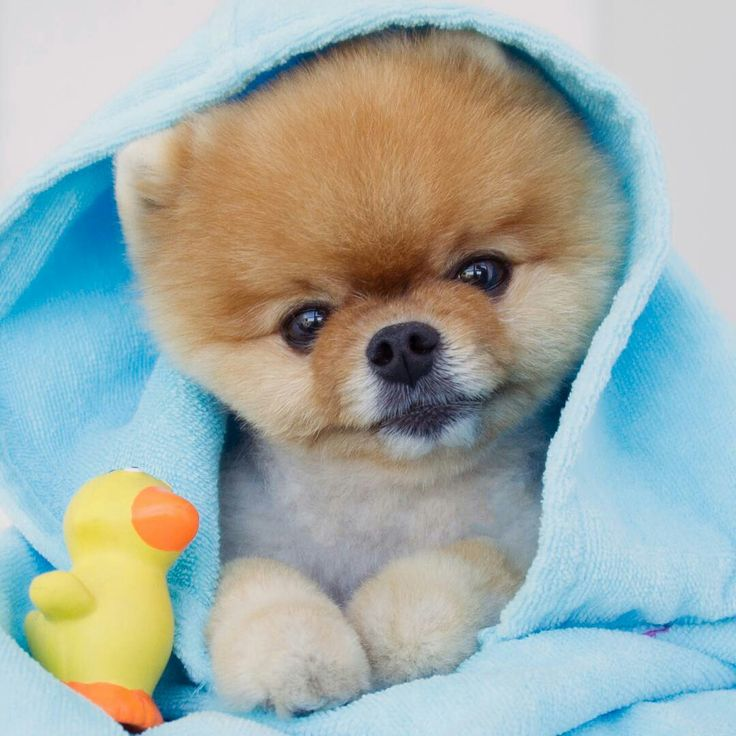 Best Jiff Images On Pinterest Instagram Pets And Puppies - Jiff the pomeranian is easily the best dressed model on instagram