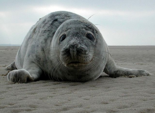 Seal. Waddeneiland Vlieland, the Netherlands. Nature. Animals. Zeehond.