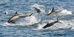 Common Dolphins Everywhere