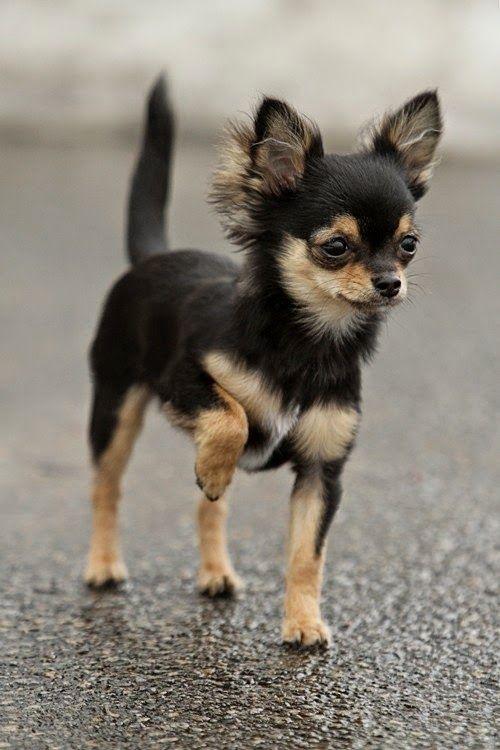... Dogs on Pinterest | Dog breeds, Best dog breeds and Rare dog breeds