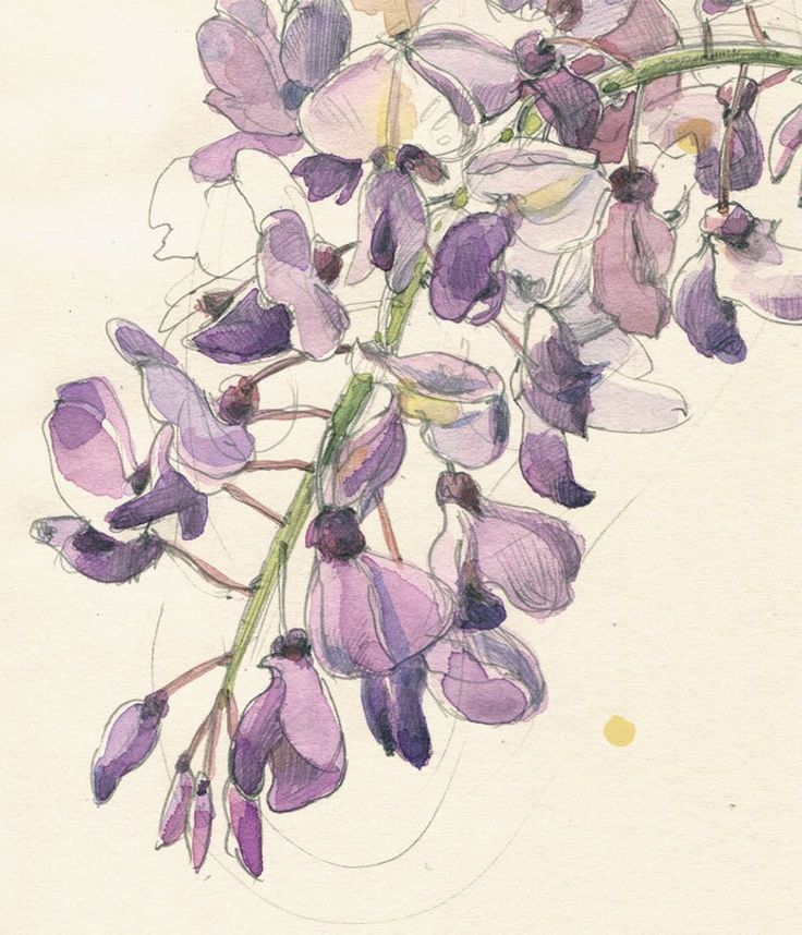 Violet Wisteria 2 Watercolour pencil drawing botanical