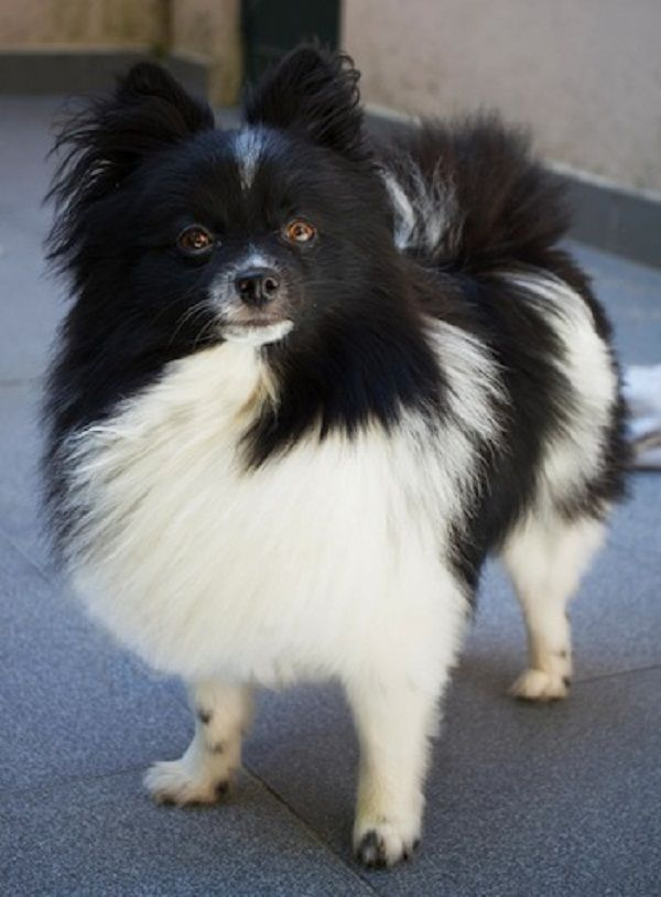 white and black pomeranian puppies | Zoe Fans Blog | Cute ...