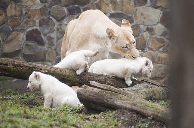 Három fehér oroszlán született a Nyíregyházi Állatparkban | Érdekes Világ