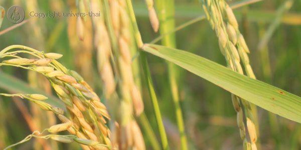 culture du riz en thailande - Google Search